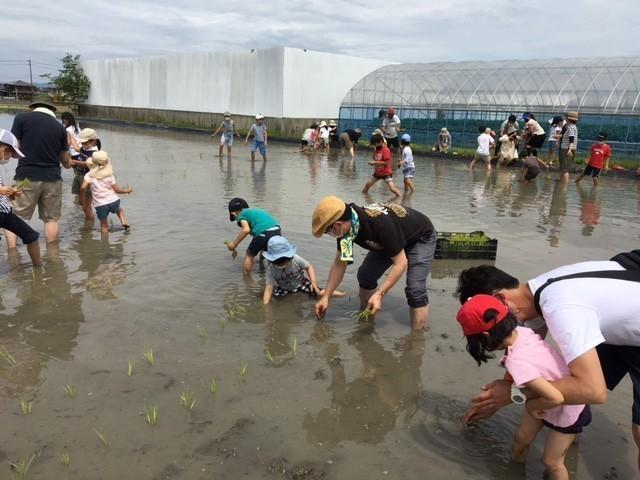 ひみこ米田植え1